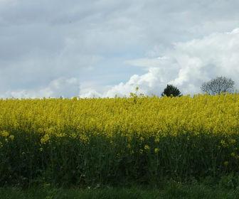 グランチェスターへの道 菜の花畑